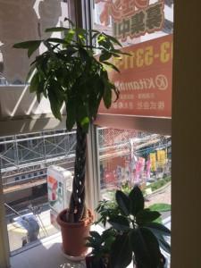 西荻北事業本部の観葉植物たち
